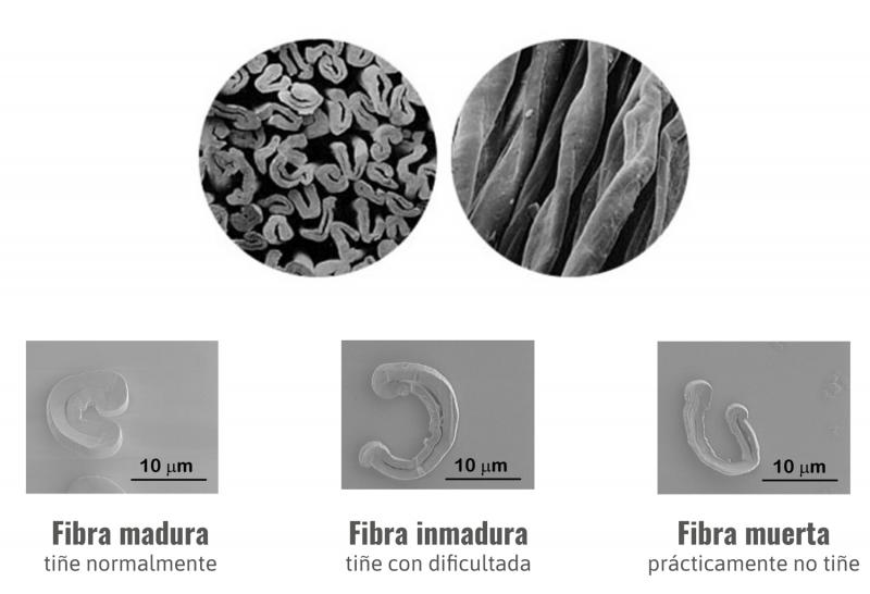 Defectos de Tintura sección de fibra de algodón